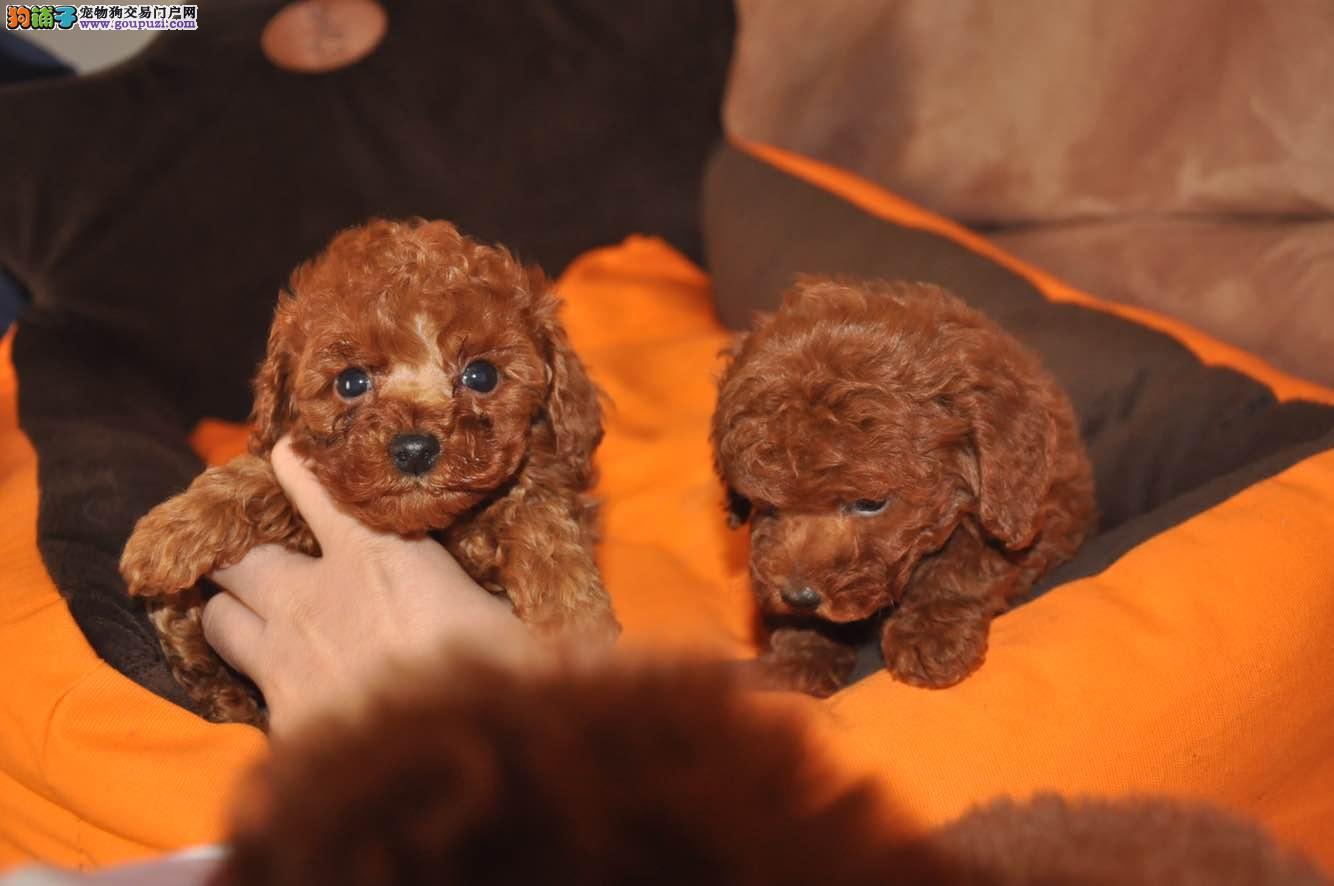家养赛级茶杯犬宝宝品质纯正欢迎您的光临
