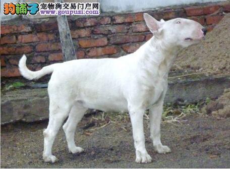 榆林出售纯种健康品质虎皮色纯白色 海盗狗牛头梗幼崽
