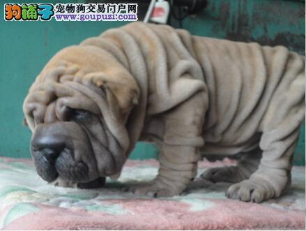沙皮狗天津最大的正规犬舍完美售后真实照片视频挑选