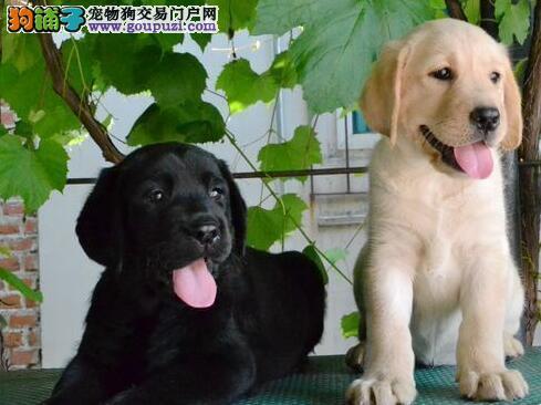 成都拉布拉多犬低价出售 品质高毛色好可视频看狗