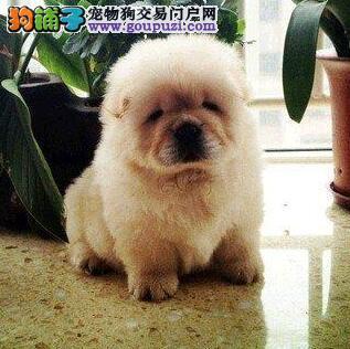 顶尖松狮幼犬 纯种松狮犬 CKU血统