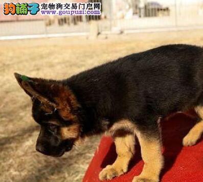 犬舍低价热销 德国牧羊犬血统纯正品质保障可全国送货