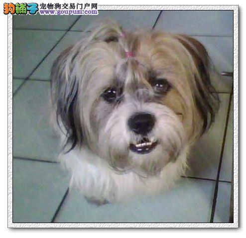 大理买狗大理哪里卖狗狗场常年出售纯种西施犬