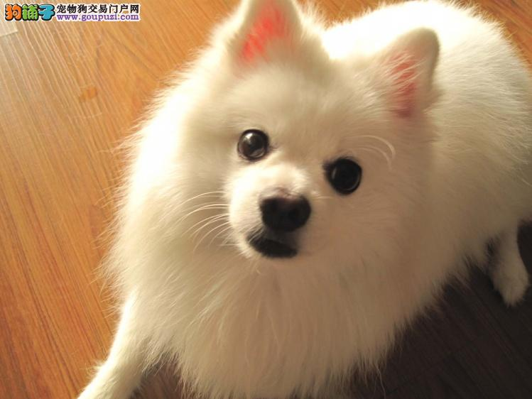 极品银狐犬在这里、优惠纯种和健康、CKU认证犬业