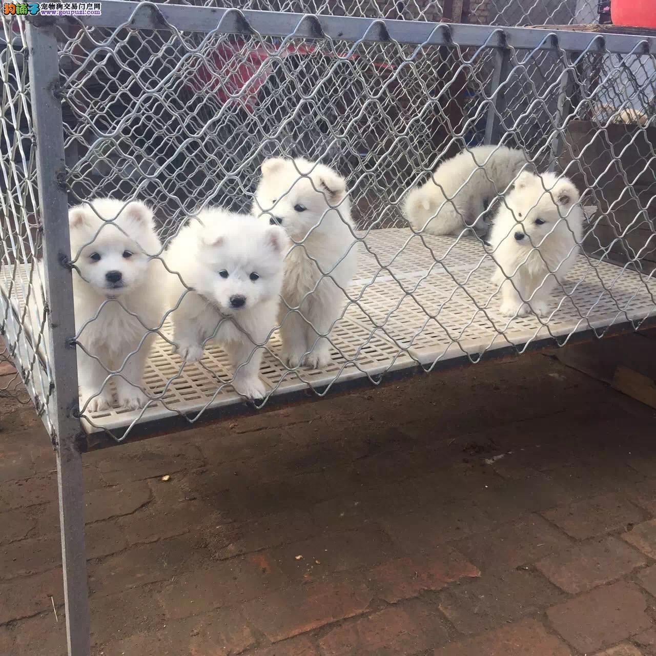 西伯利亚纯种血系萨摩耶雪橇犬一正规犬舍繁殖一包活