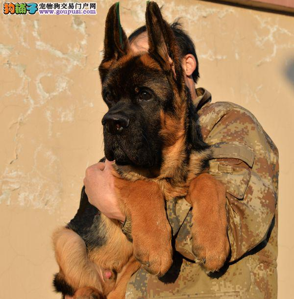 养殖基地常年出售 德国牧羊犬