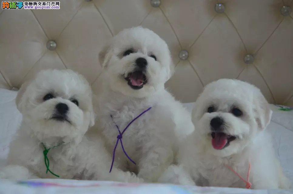 极品卷毛比熊犬幼犬出售,犬舍实地挑选6个月质保