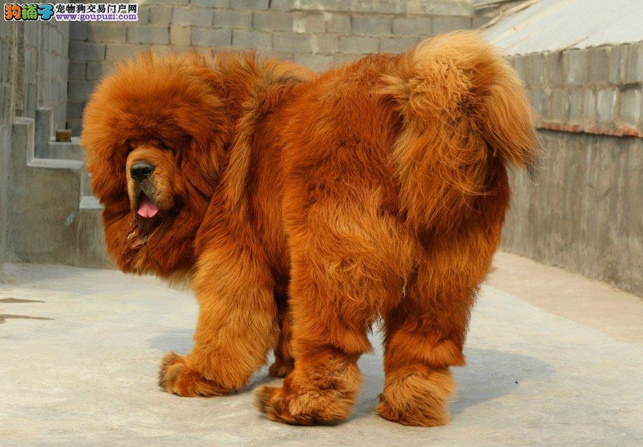 狮头藏獒、铁包金、红獒特价出售中、自然照欢迎来看狗