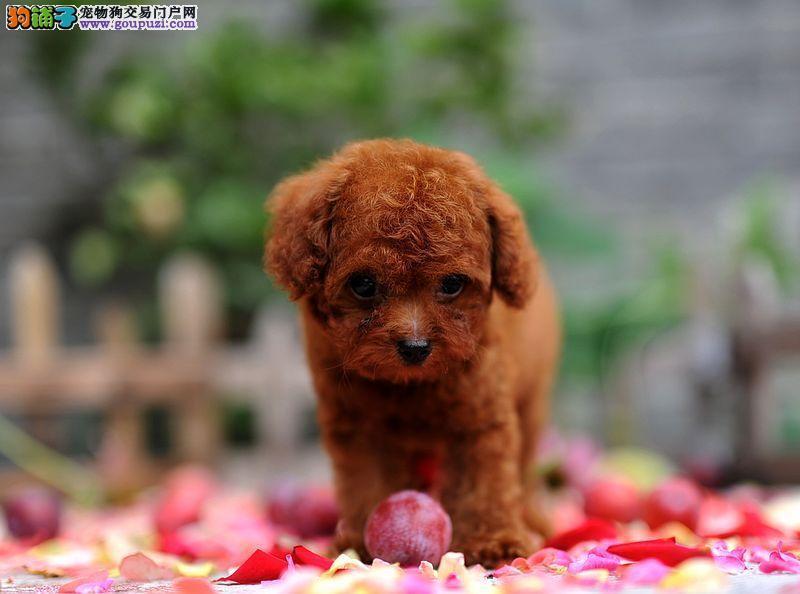 胜达犬业出售超小体韩国泰迪品质保证绝对放心健康