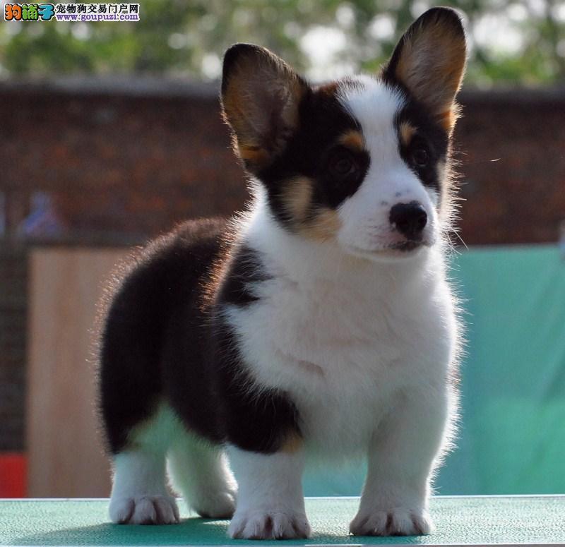 犬舍直销世界各类 柯基犬 全国可送货