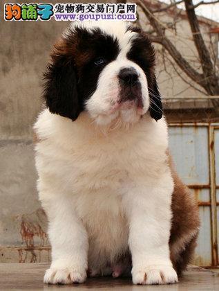圣伯纳名犬宝宝出售养殖与培训