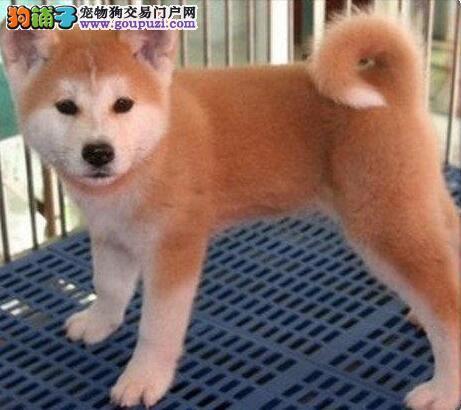 纯种日系秋田犬低价出售 拉萨周边可送上门可免费寄养
