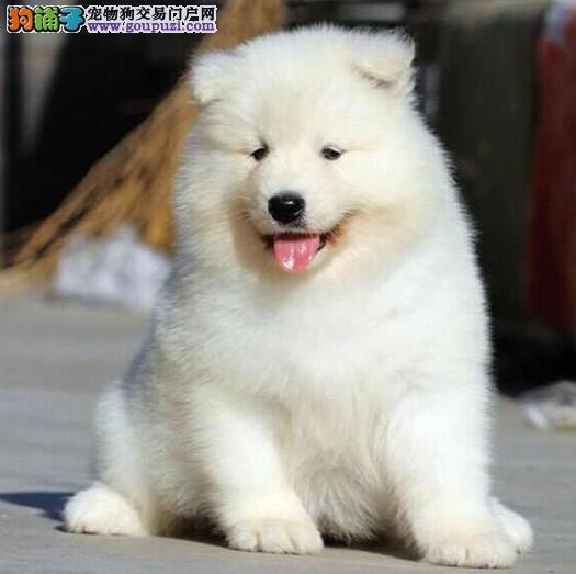 毕节知名犬舍出售多只赛级萨摩耶CKU认证品质绝对保障