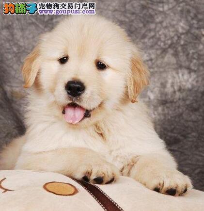 拉萨本地犬舍直销精品金毛犬 可终身做售后服务