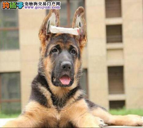 家养极品德国牧羊犬出售 可见父母颜色齐全保障品质售后