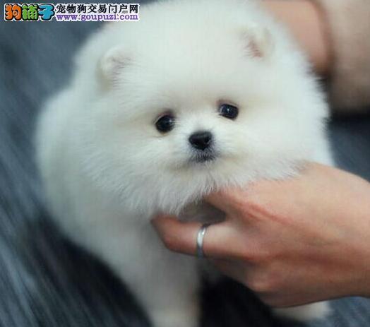 大型专业培育博美犬幼犬包健康价格低廉品质高