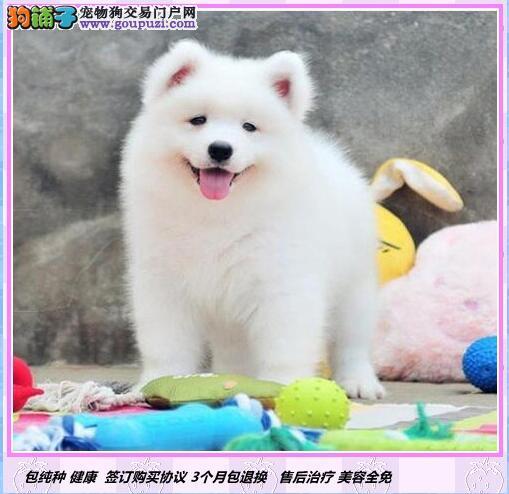 微笑天使萨摩耶幼犬◕包纯种健康◕死亡包退