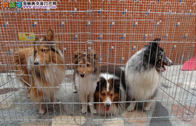 苏州喜乐蒂犬价格多少钱 苏州喜乐蒂犬买卖转