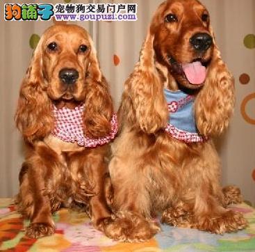 正规狗场,英系可卡犬,美系可卡犬,签协议,