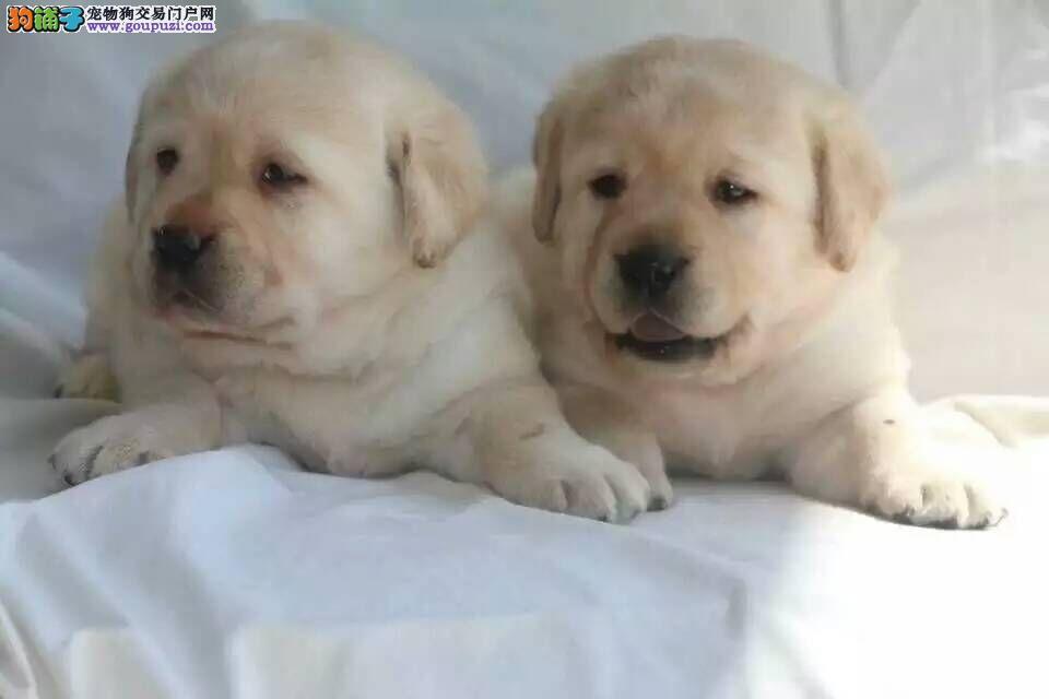 高品质的赛级拉布拉多幼犬出售了 疫苗做完 质量三包