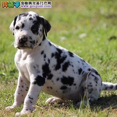 赛级品相斑点狗幼犬低价出售质量三包多窝可选