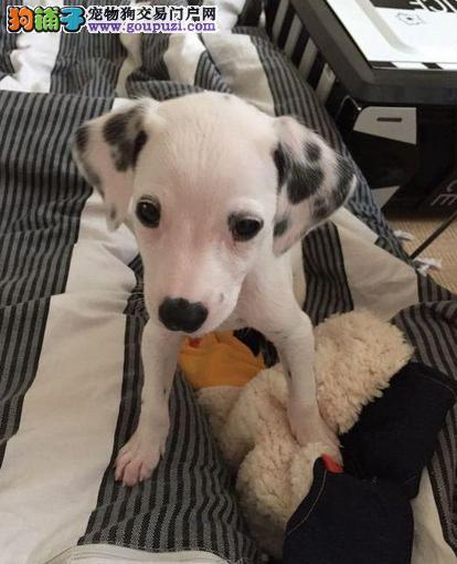 呼和浩特出售斑点狗幼犬品质好有保障加微信送用品