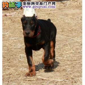 直销赛级杜宾犬,保证品质一流,寻找它的主人
