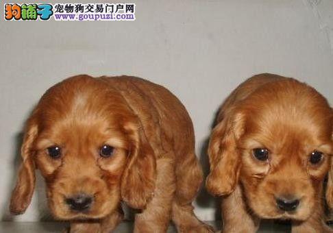 苏州哪里有卖家养的可卡犬在苏州一只可卡犬多少钱