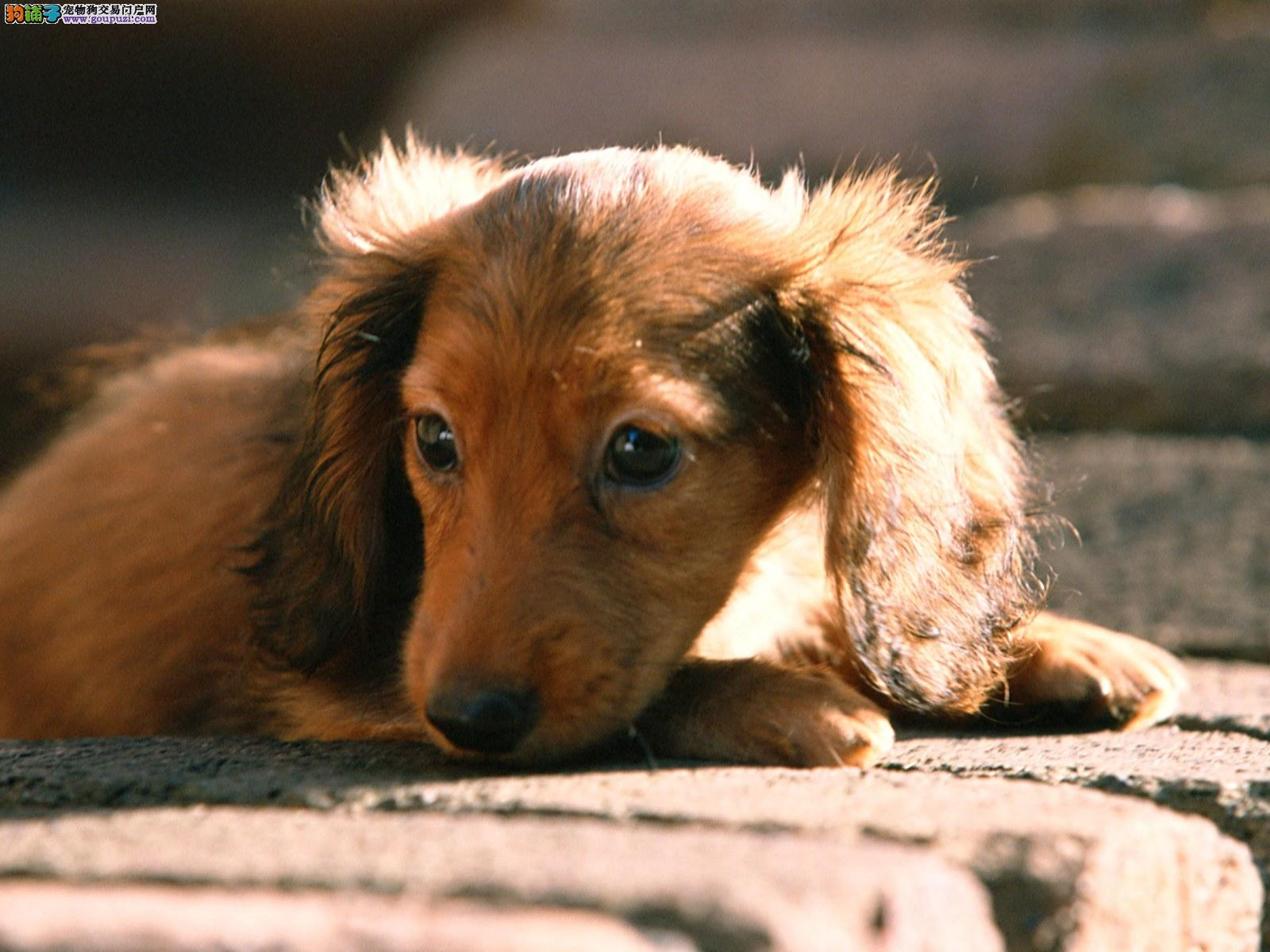 超级萌宠腊肠犬幼犬大耳朵 纯种血统
