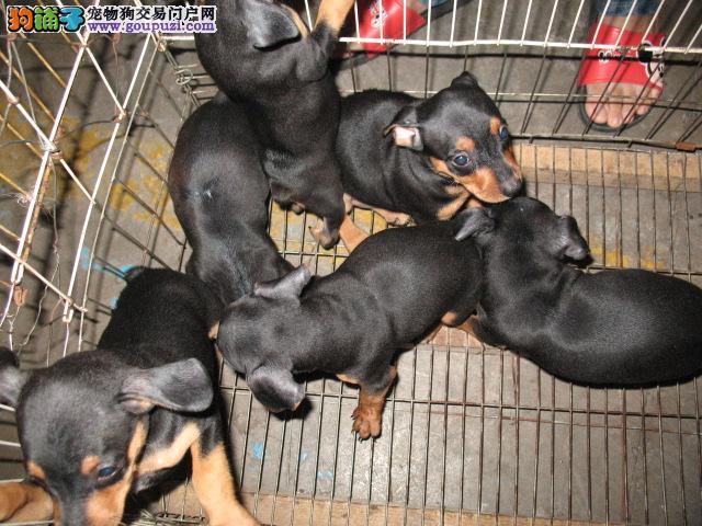 家养小鹿犬出售 疫苗齐全包养活 购买保障售后