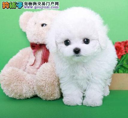 最大犬舍出售多种颜色泰迪犬赛级品质血统保障