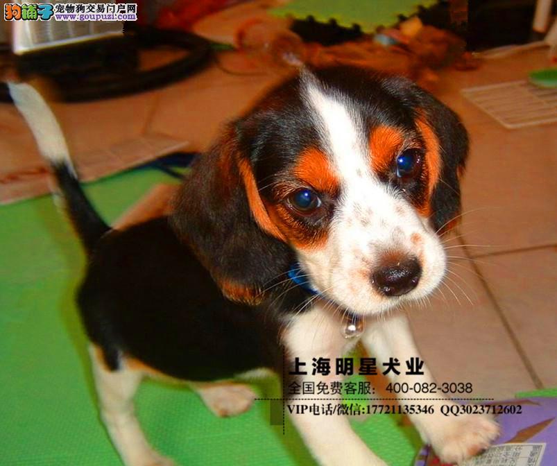 国内最专业的明星犬业出售 比格保证纯种健康