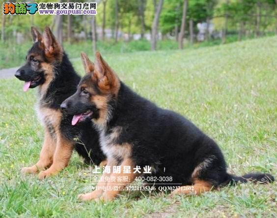 上海明星犬业出售德牧保证纯种健康签订协议