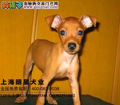 上海明星犬业出售小鹿犬 保证纯种健康
