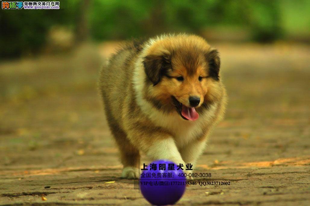 国内最专业明星犬业出售喜乐蒂保证纯种健康