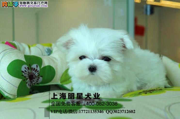 国内最专业的马尔济斯犬出售 纯种健康