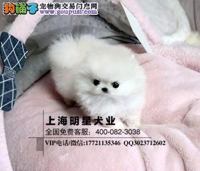 国内最专业的明星犬业出售博美保证纯种健康