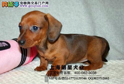 国内最专业的明星犬业出售腊肠犬纯种健康