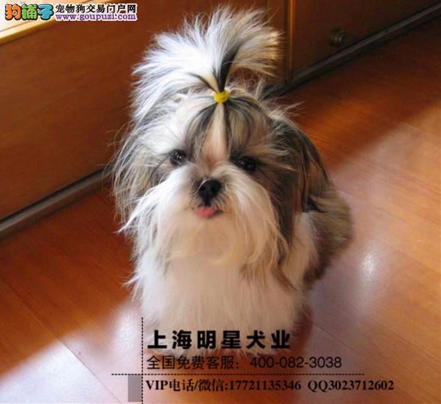 上海明星犬业出售西施犬 保证健康