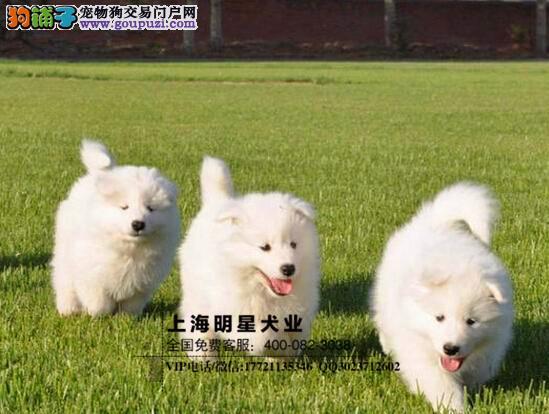 国内最专业的明星犬业出售 萨摩耶签订协议