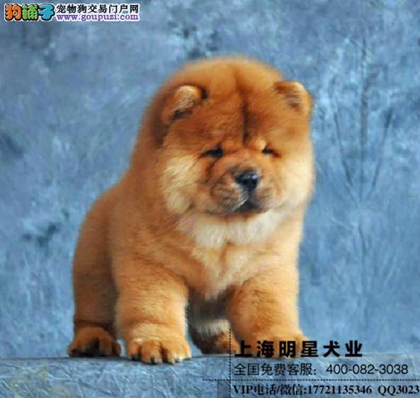 上海明星犬业出售松狮保证纯种健康