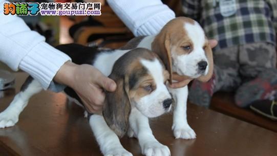 实物拍摄 绝无二家精品比格犬可签协议