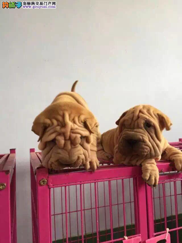 纯种高品质沙皮幼犬 价格实惠 可送货 签署质保协议