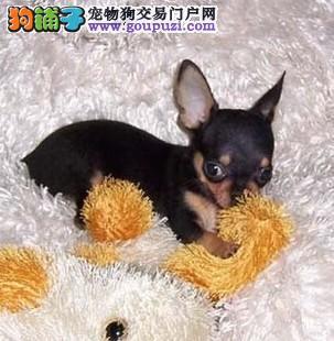 广州小鹿犬 纯种小鹿犬的价格是多少 小鹿犬图片