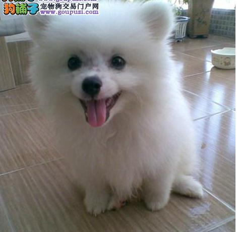 出售精品银狐犬、专业繁殖血统纯正、诚信经营保障