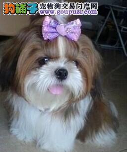 广东出售西施犬颜色齐全公母都有欢迎您的指导