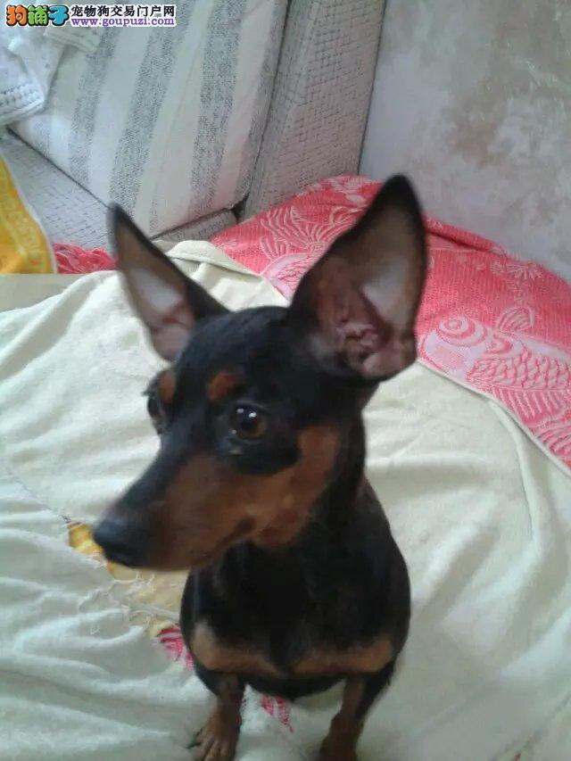 宁波出售小鹿犬,爱它就带它回家吧
