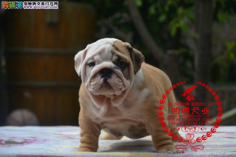 双赛级血统英国斗牛犬幼犬出售保纯种可上门送货