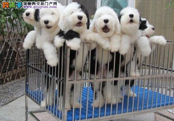 经典白头古牧幼犬待售送 喂养教材 三个月协议保障