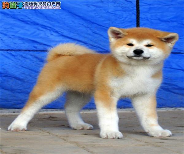 日系美系秋田犬 签署协议 保纯度 保健康 欢迎选购